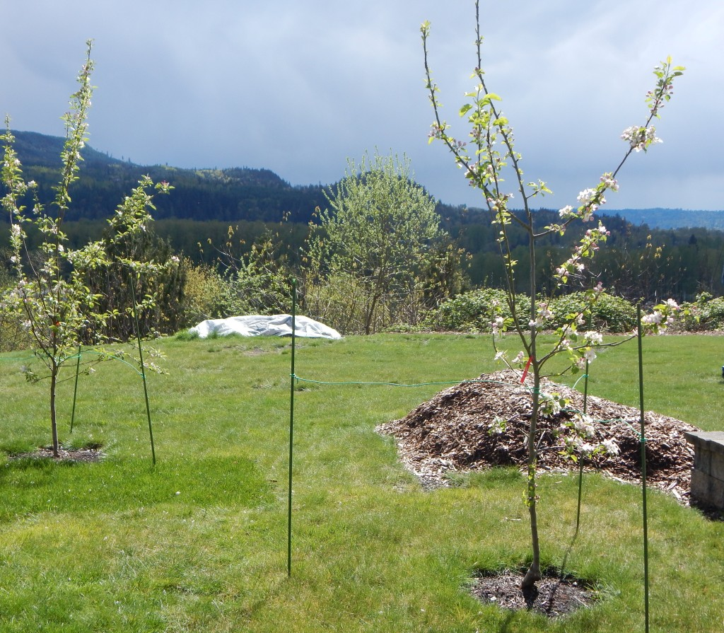 Apple trees in our back yard